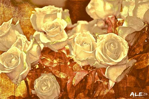 Rose-bianche