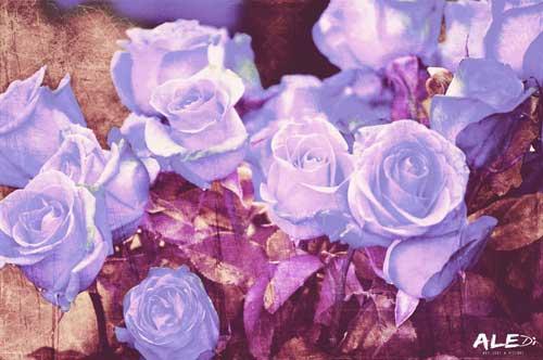 Rose-bianco_rosa