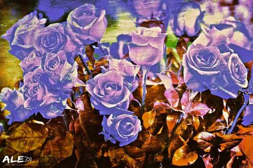 Rose-blu-scuro