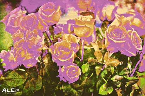 Rose-rosa