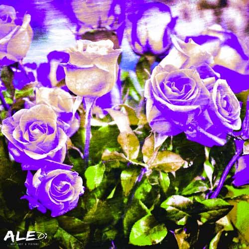 Rose-viola-quadrato